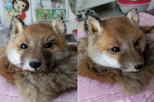 WIP Red fox kid softmount by DeerfishTaxidermy