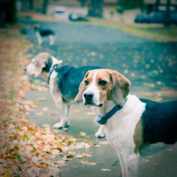 The Beagle Bunch by OneLttle1