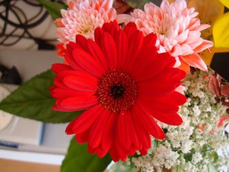 Stock: Red Daisy by FantasyFailure-Stock