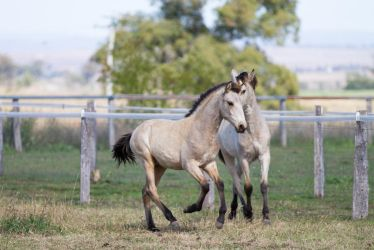 HH Iberian Foals canter sidefront view by Chunga-Stock