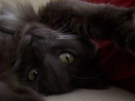 My kitty Phoebe by Water-Ferret