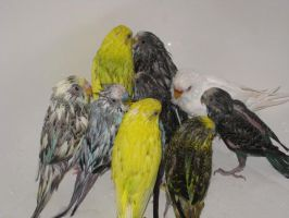 Wet Parakeets by shinigamisgem