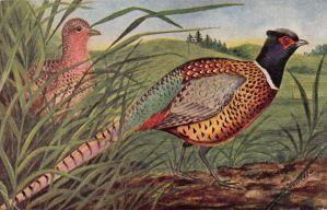 Ring-necked Pheasant Couple by Yesterdays-Paper