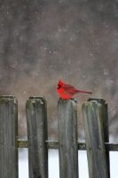 Cardinal on fence in snow by speedyredneck