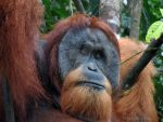 Old man of the forest of Sumatra by IsabelleEscapade