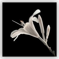 lily . by vw1956