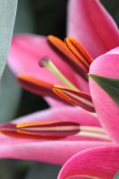 Lily close up 4 by CASPER1830