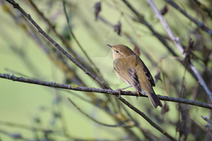 Common chiffchaff by sourpepper