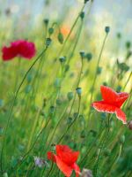 Blood red poppies sway by Morgan-Lou