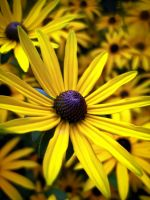 Yellow Daisy by Iris-cup