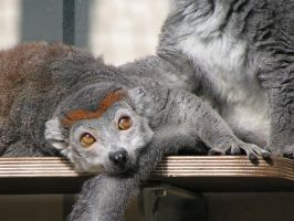 Crowned lemurs 2 by Henrieke