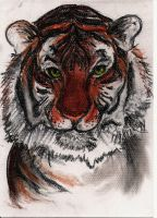 Tiger by Aerin-Cairo