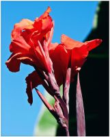 Red Iris by ciseaux