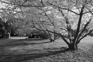 Cherry Blossom Trees by TikerenQ