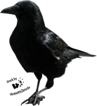 Cut-out stock PNG 69 - walking crow by Momotte2stocks