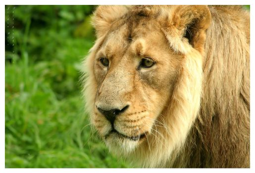 The Lion by JRose-Photography