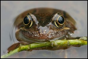Common Frog Portrait by nitsch