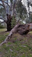 Old Gum Tree 10 by LuchareStock