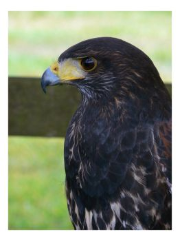 Portrait of a Harris Hawk by e-s-d