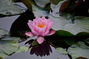 WATERLILLY by major-holdups