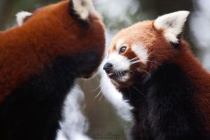 Cute firefox #2 by Seb-Photos