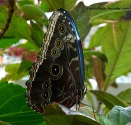Blue Morpho Butterfly by PotionsTeddy