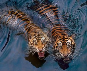 Tiger Couple by robertels