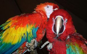 Scarlet Macaws - WP by barefootphotography