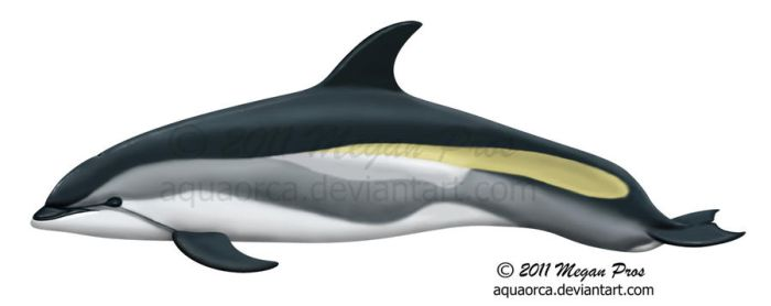 Atlantic White-sided Dolphin by AquaOrca