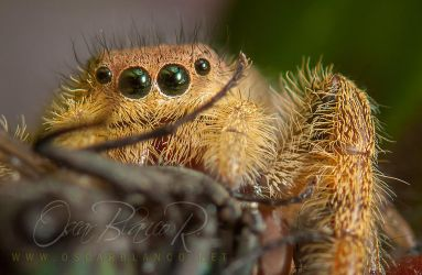 Jumping spider with prey by otas32