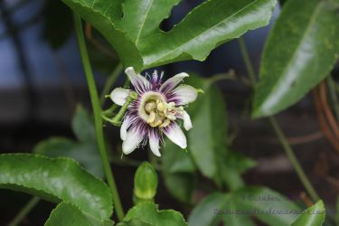 Passion flower by bubupoodle