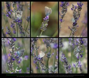 Common Blue Butterfly On Lavender Stock Pack by Esmeralda-stock