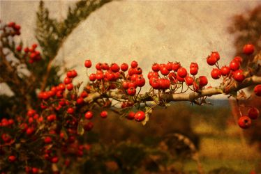 Red Berries by wbool63