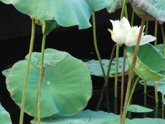 Love of Water Lily by J4n3T