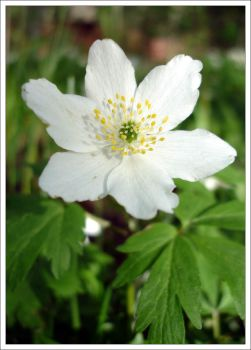 wood anemone by nad451