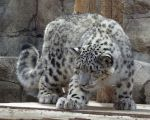 Snow Leopard Stock 24 by HOTNStock