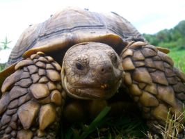 Speedy the Tortoise by FishMuffin1