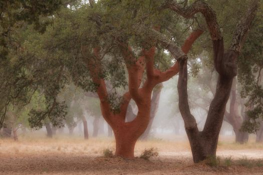 Naked Cork Oak by vamosver