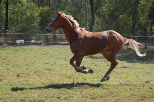 Horse stock  - Galloping 3 by Chunga-Stock