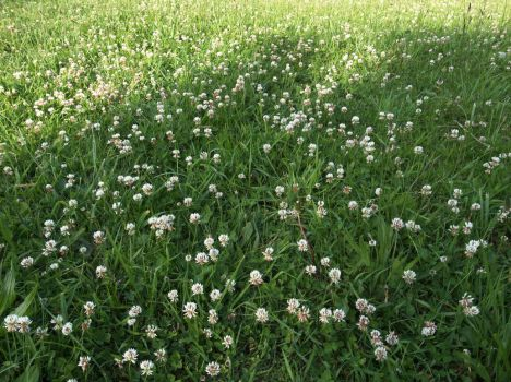 White Clover by 6elz