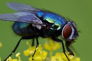 1056 Colorful fly by RealMantis
