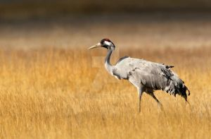 Looking into the distance - common crane by Jamie-MacArthur