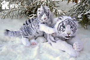 Family of white tigers by KatiaLeyt