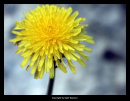 Sow thistle by Selus