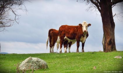 2 Cows by Maxibouy1