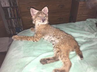 Traditional Taxidermy Lifesize Bobcat Kitten by NCIS2013