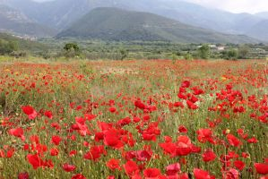 poppy field 2 by MyBrightSide33
