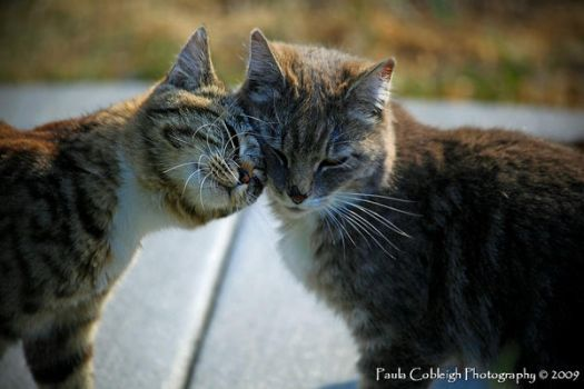 Tabby Cat Love by La-Vita-a-Bella