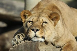 Tired lioness by Tigerlover4