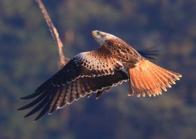Red Kite by NurturingNaturesGift